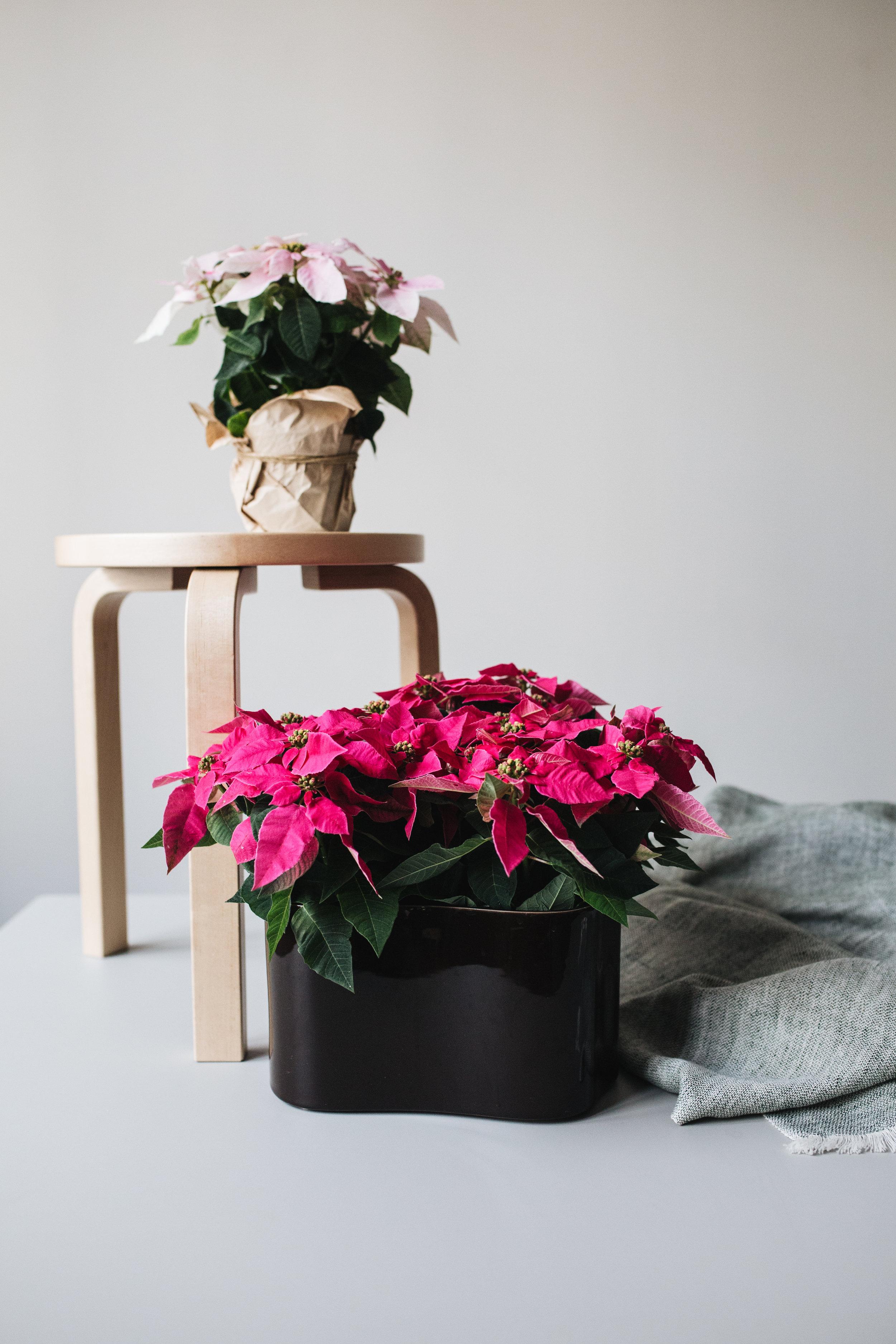 Zimmerpflanzen des Monats 2019: Poinsettie Herz&Blut