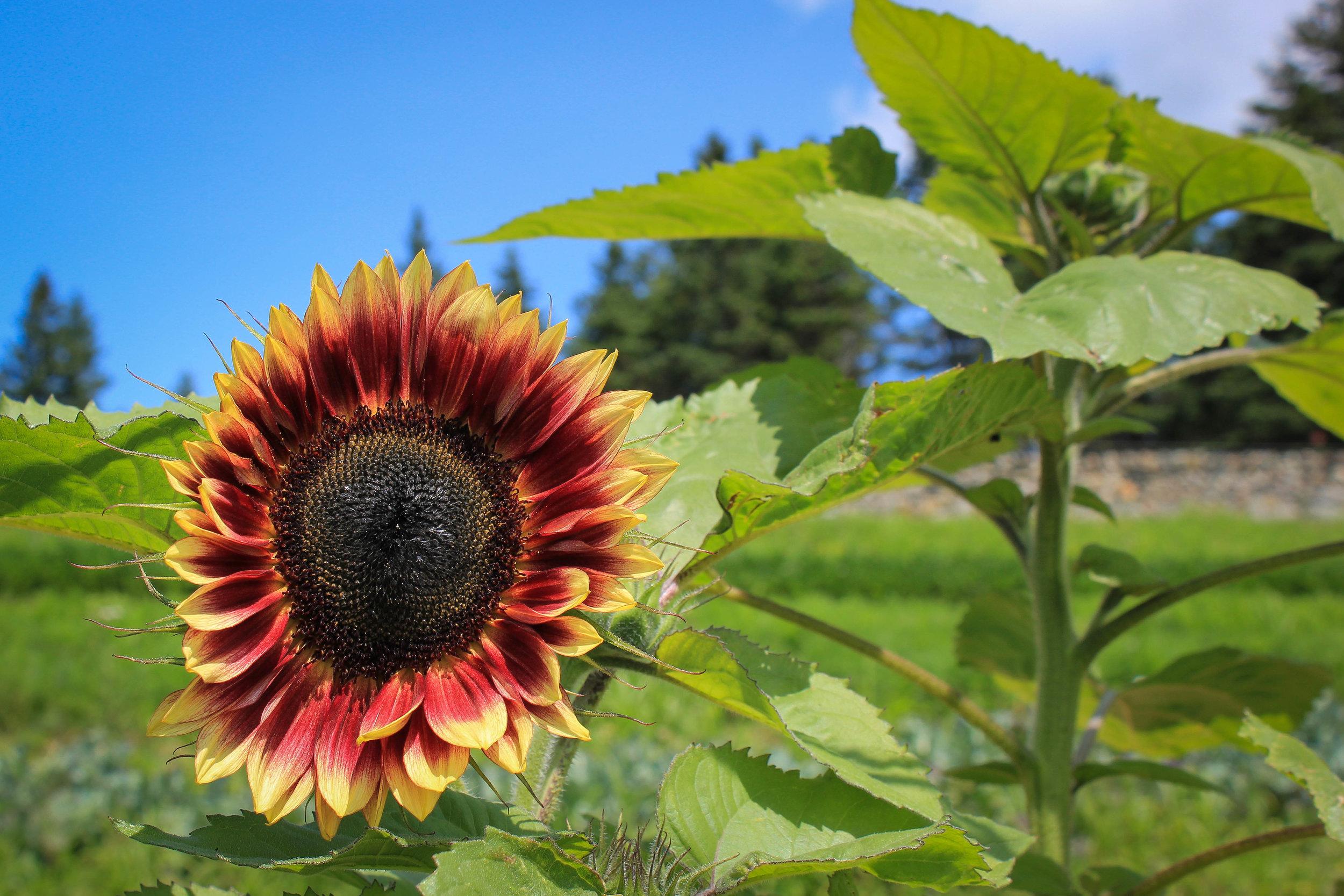 Turner Farm Sunflower