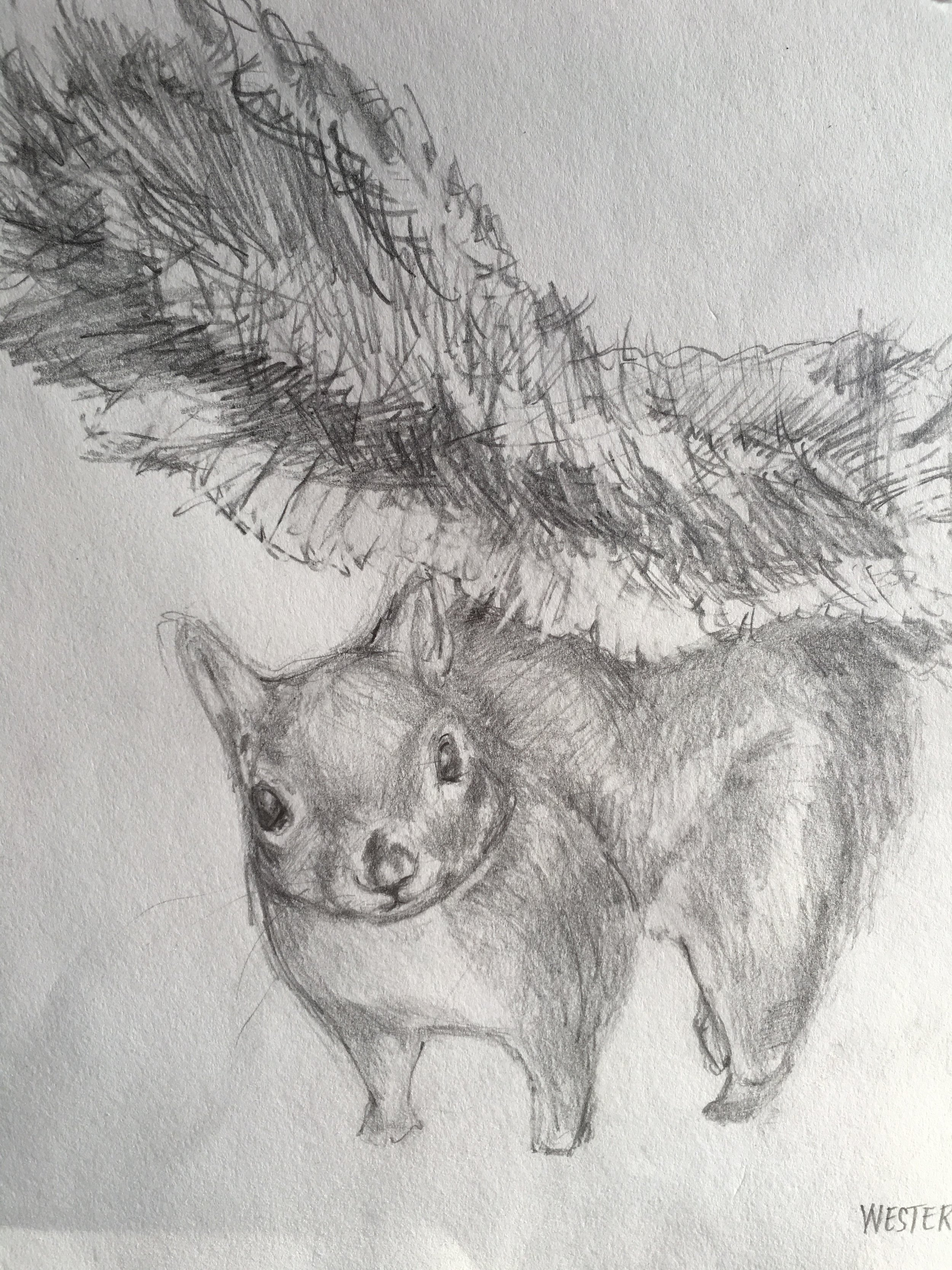 Western Grey Squirrel, 2014. Detail. 9x12 inches. Pencil on acid free Strathmore 400 series paper.