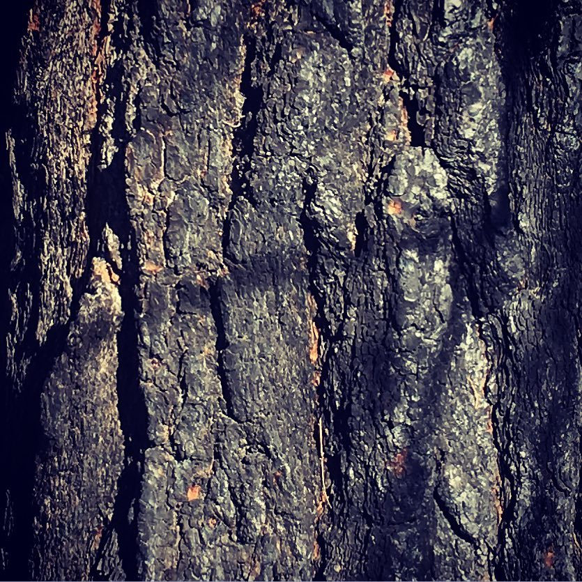Tree bark after controlled burn, Bend, OR
