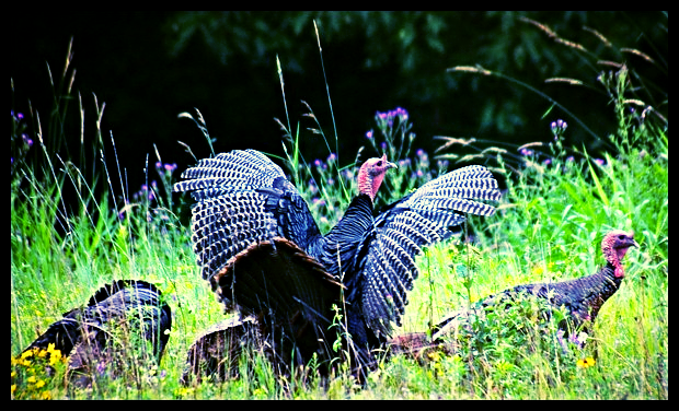 Double T's Tips for South Texas Turkey Hunts