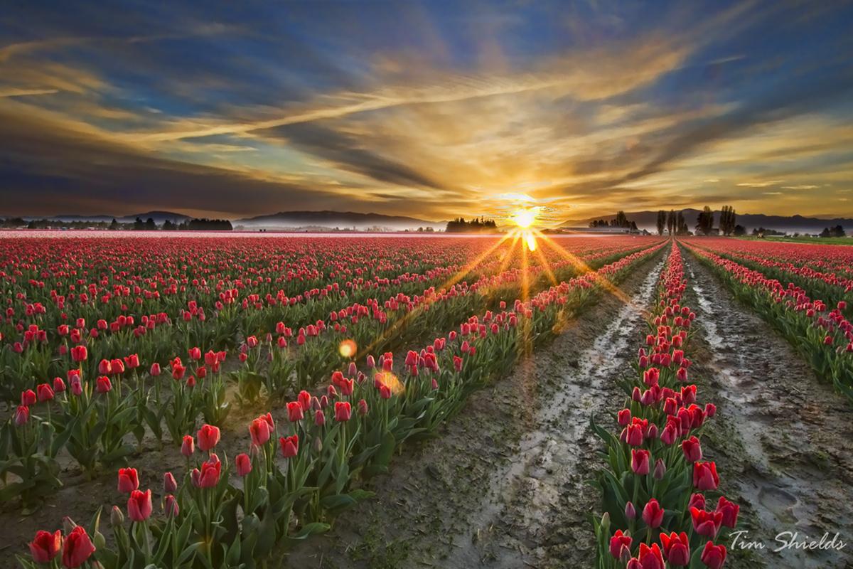 Sun-ray-tulips_6154-S.jpg