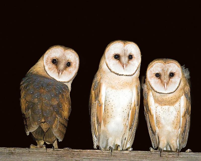 chock-3-owls.jpg