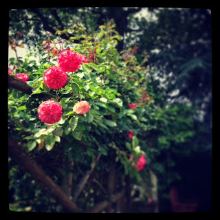 Lovely roses outside Lewis's house...