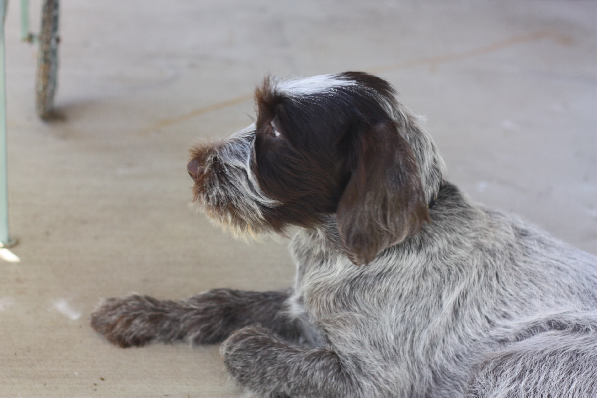 Wire Haired Pointing Griffon Puppy