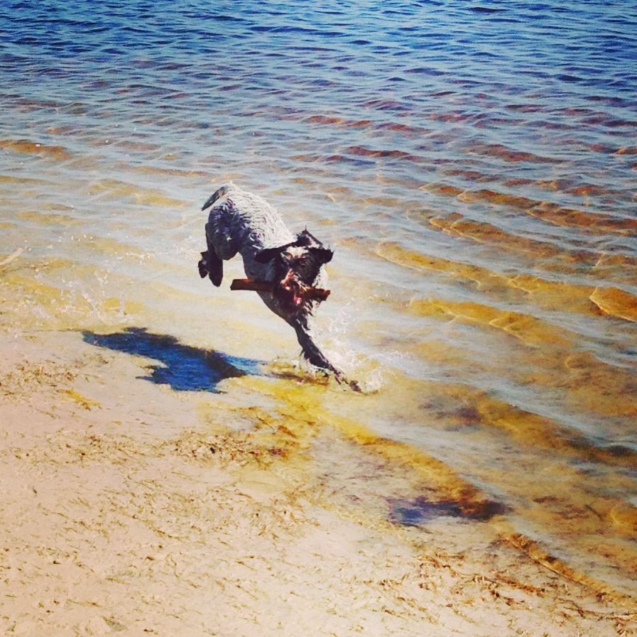 This little guy digs the beach! This weekend was a blast getting to know him and adjusting to having a little shadow trotting around at my heels all over the apartment...