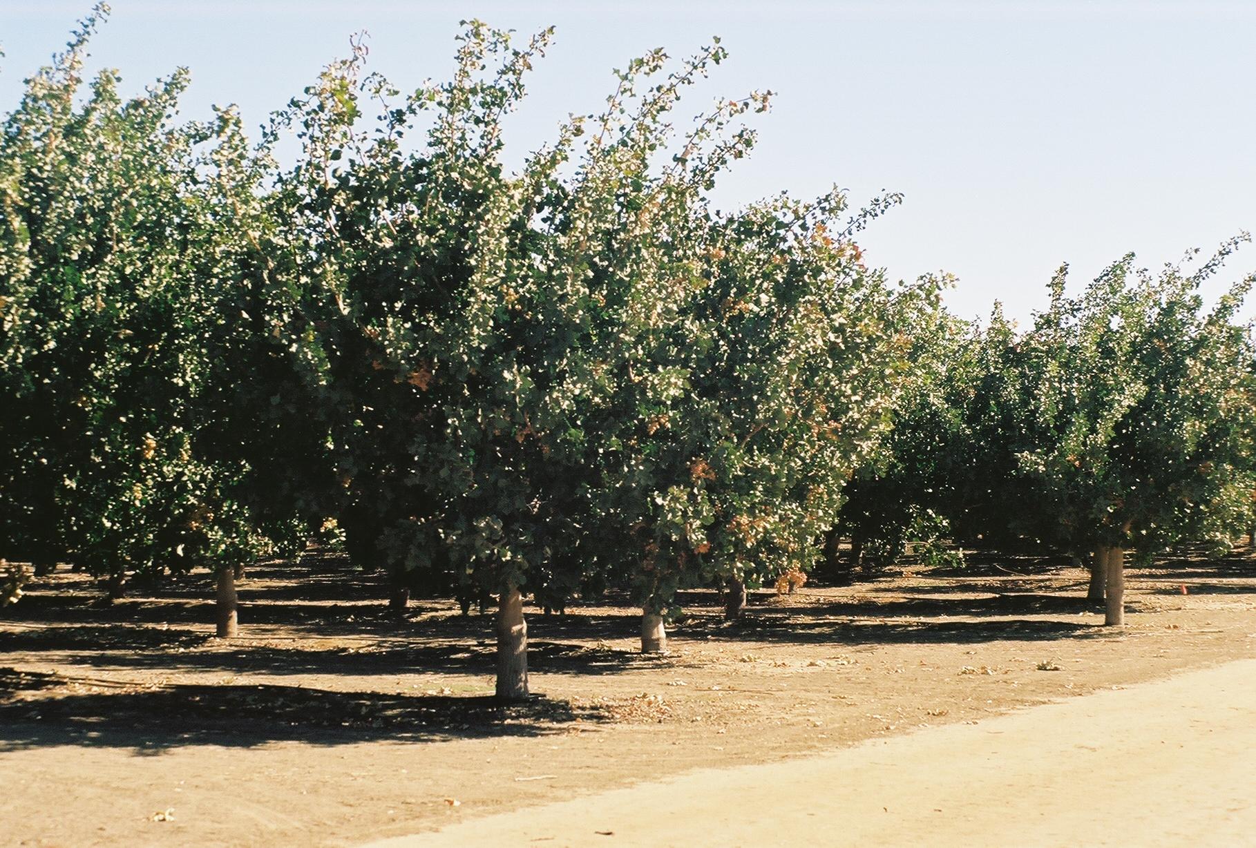 Pistachio Trees | Firebaugh, California