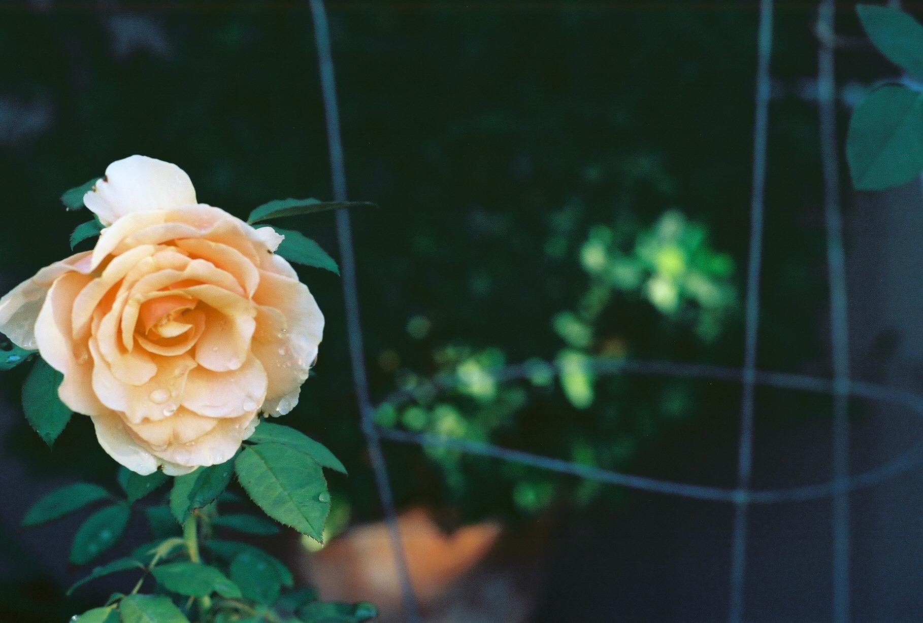 A lovely rose in Firebaugh, CA