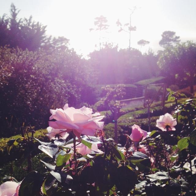 California Roses.jpg