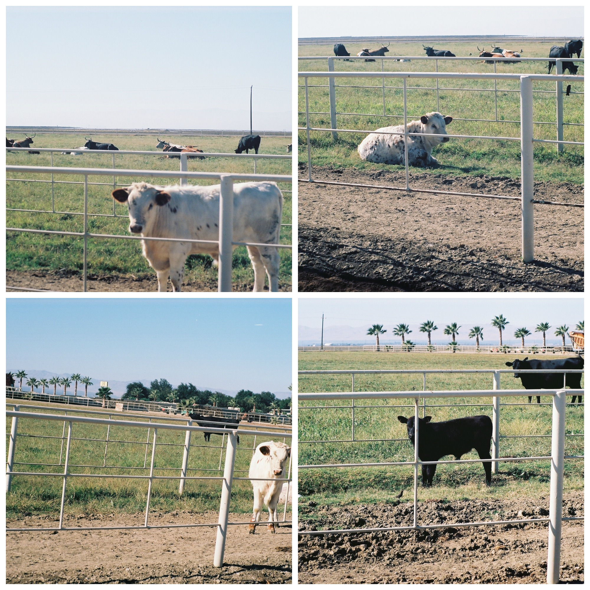 Long Horn and Angus cows in Firebaugh, CA