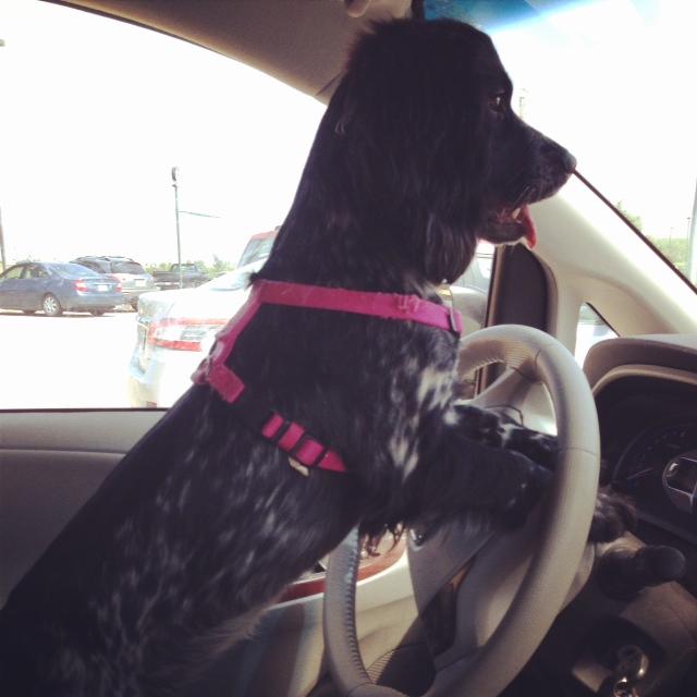 Daisy Driving, English Cocker Spaniel Puppy.jpg