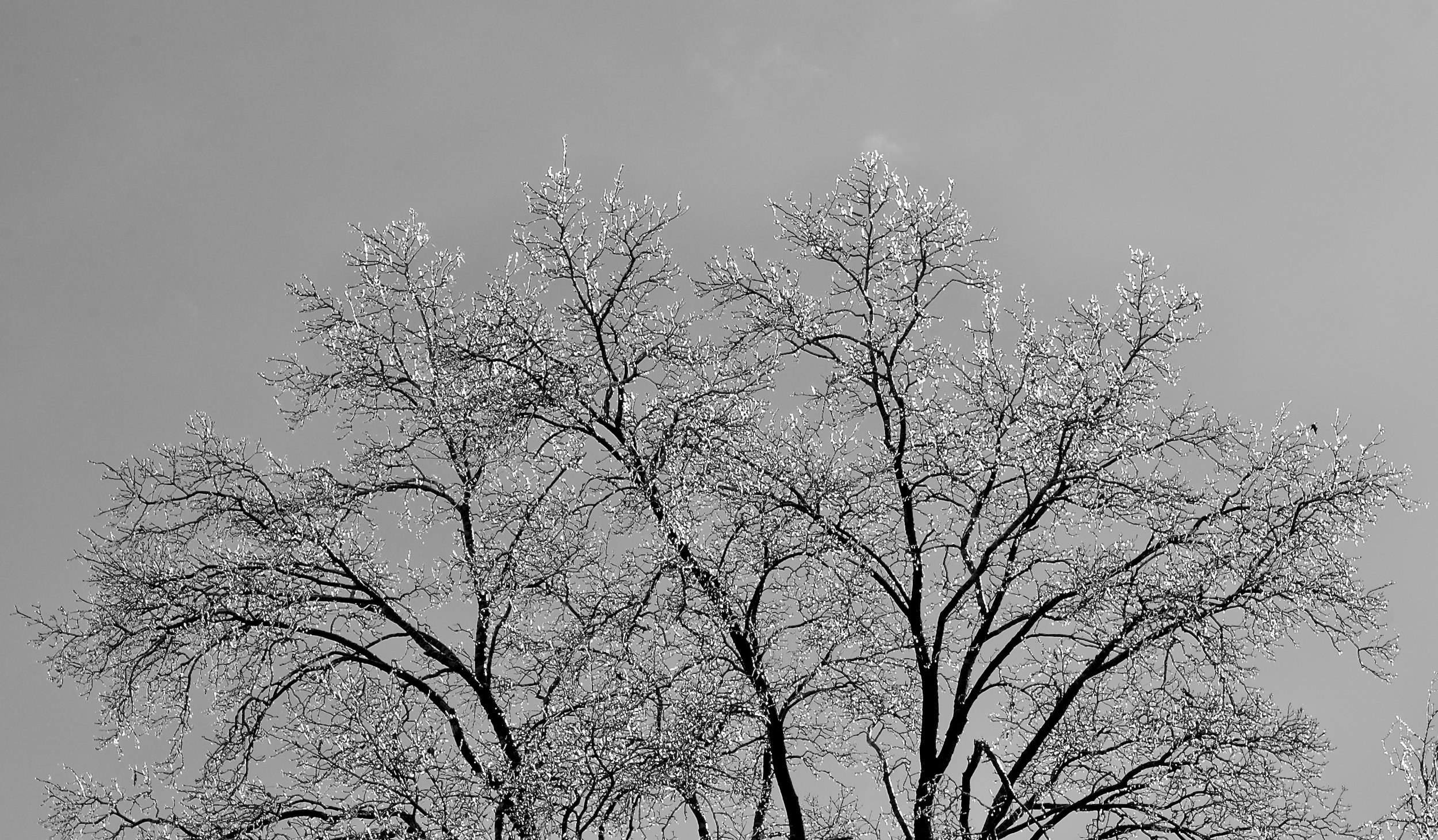 Iced Branches. Midvale Heights. Madison, Wisconsin. February 2017. © William D. Walker