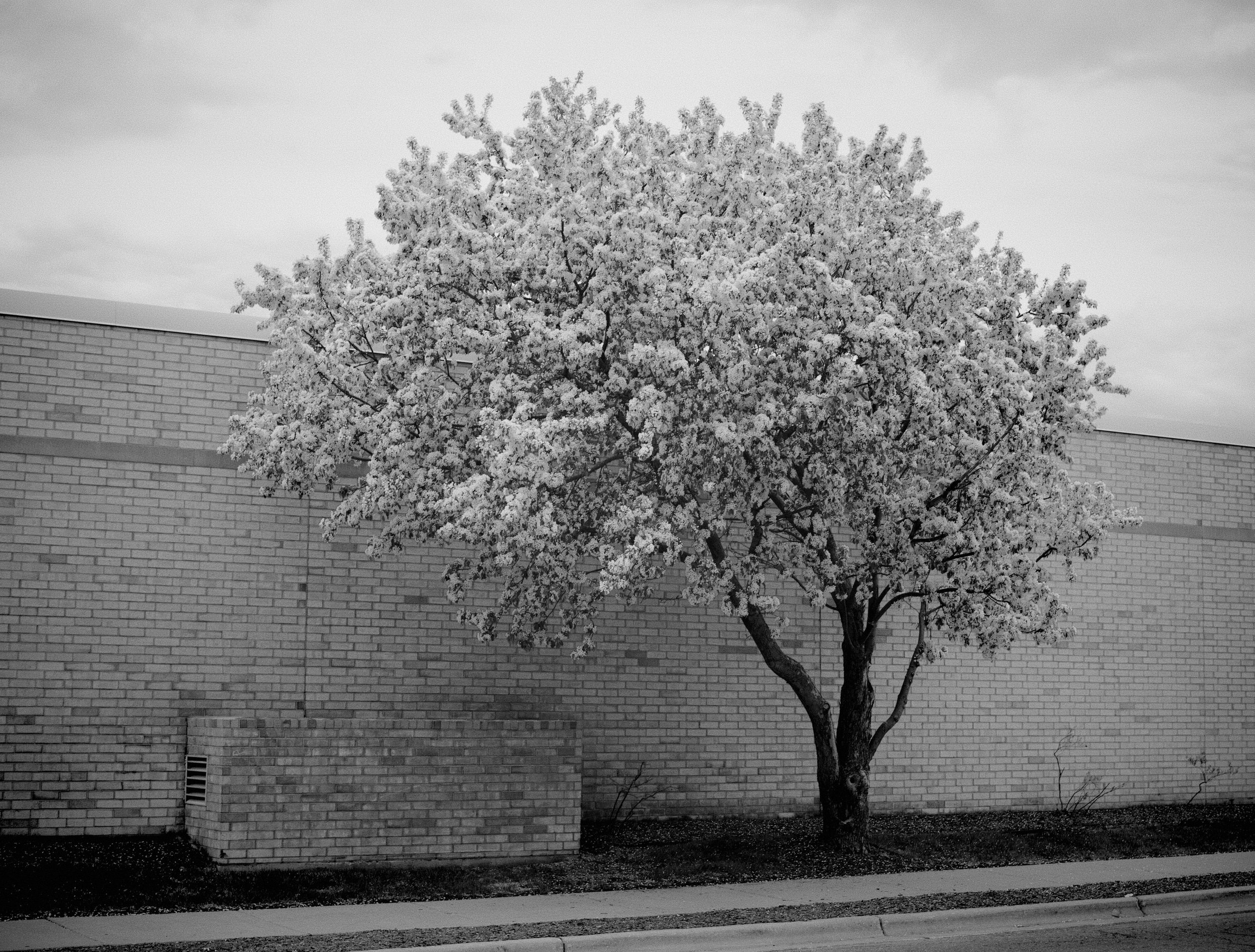 Crabapple. Hilldale Mall. Madison, Wisconsin. May 2019. © William D. Walker