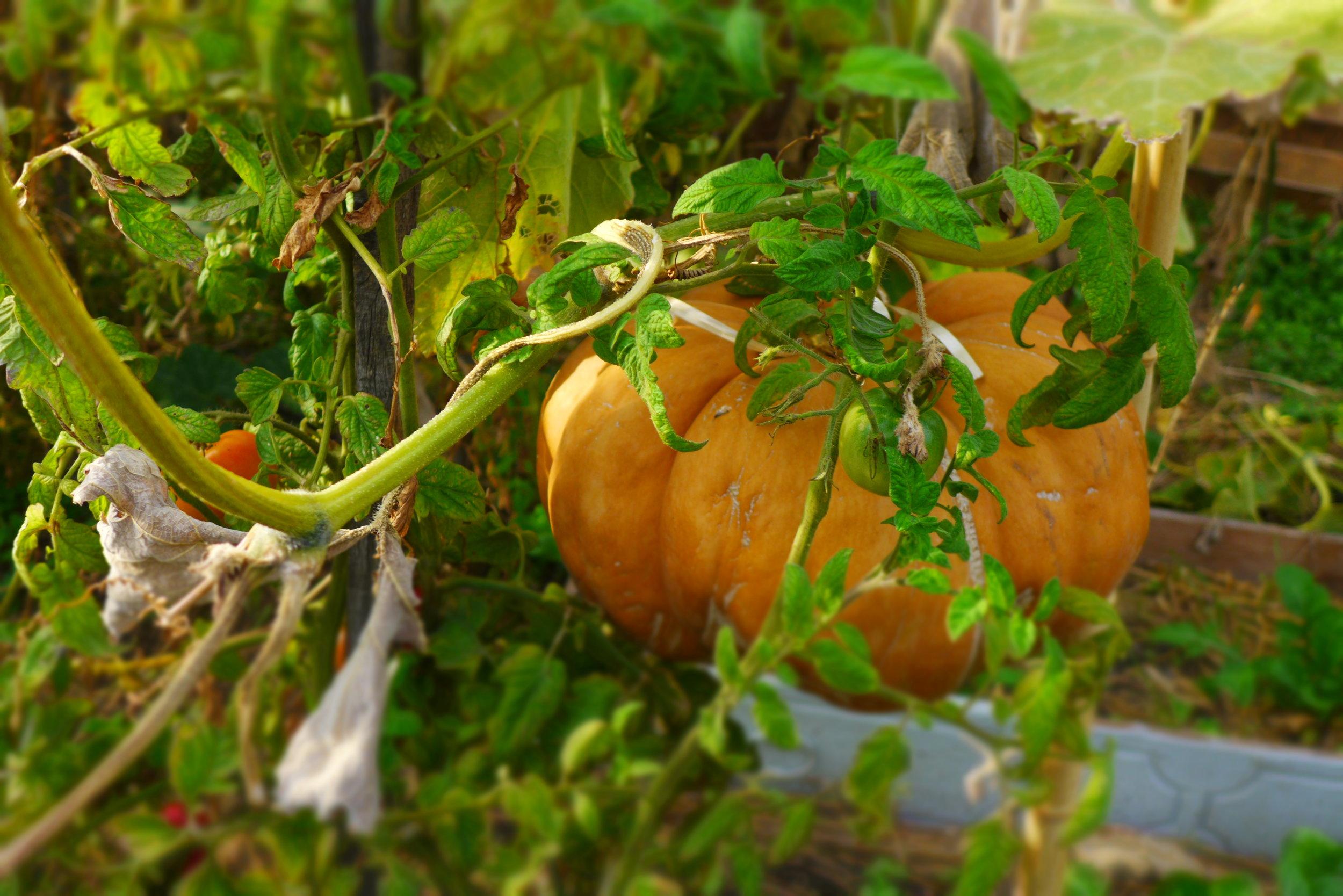 pumpkin ripening.JPG