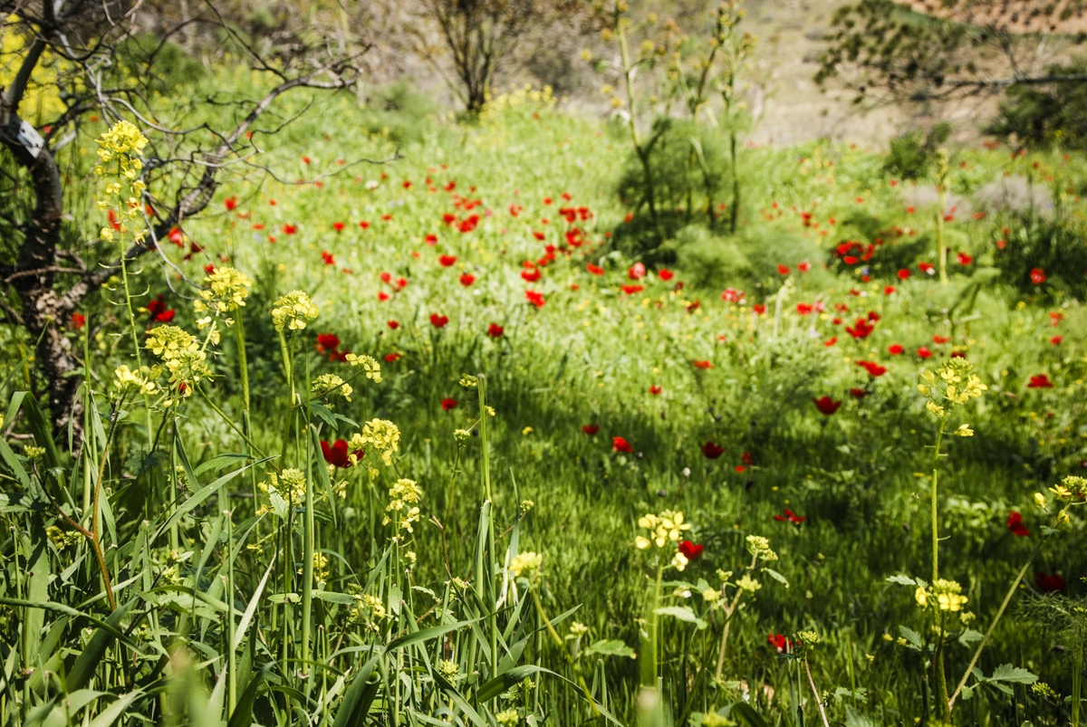 Hillside with mustard flowers (yellow, foreground) and anemones (red, background)