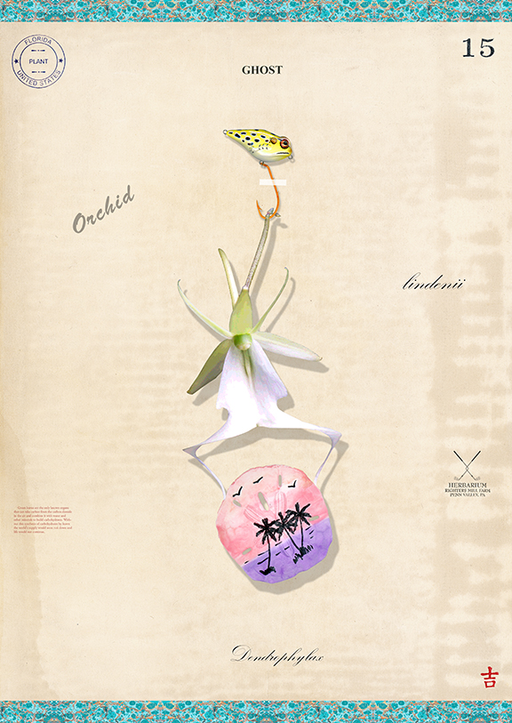 Ghost Orchid with Sand Dollar - 22x15