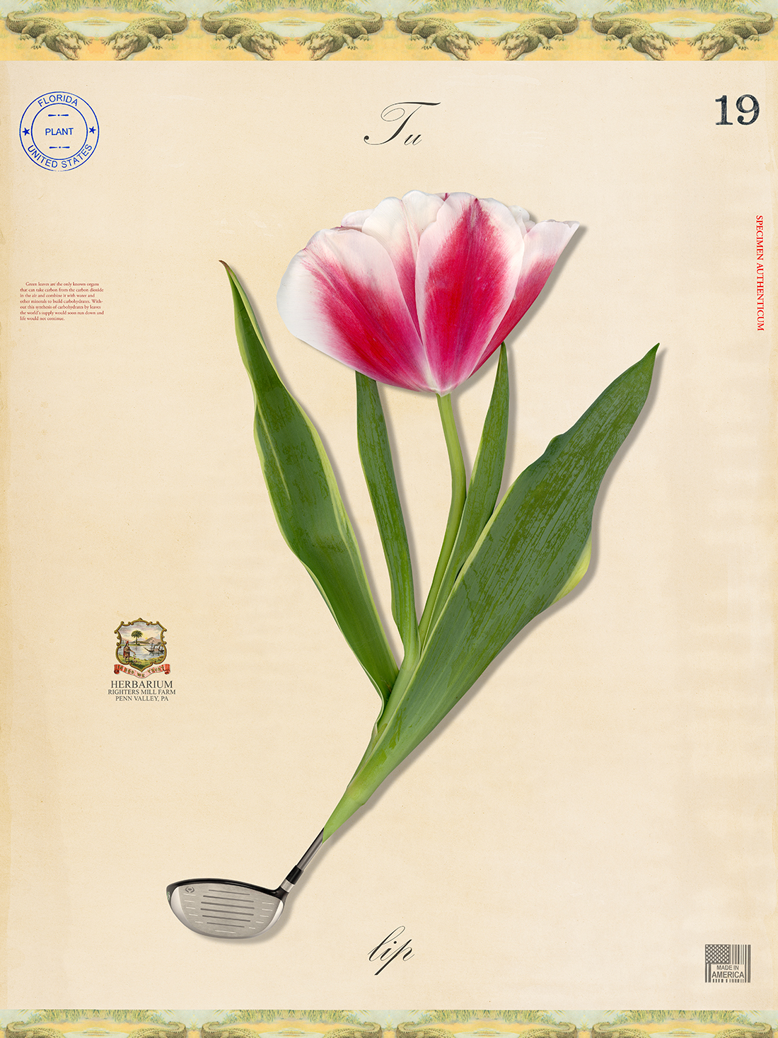 Florida Tulip - 24x18