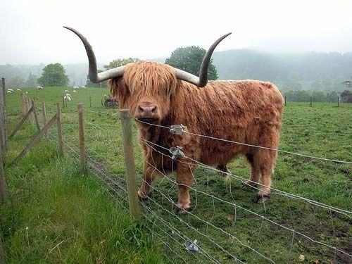 Scottish Highland Cows. My favourite!