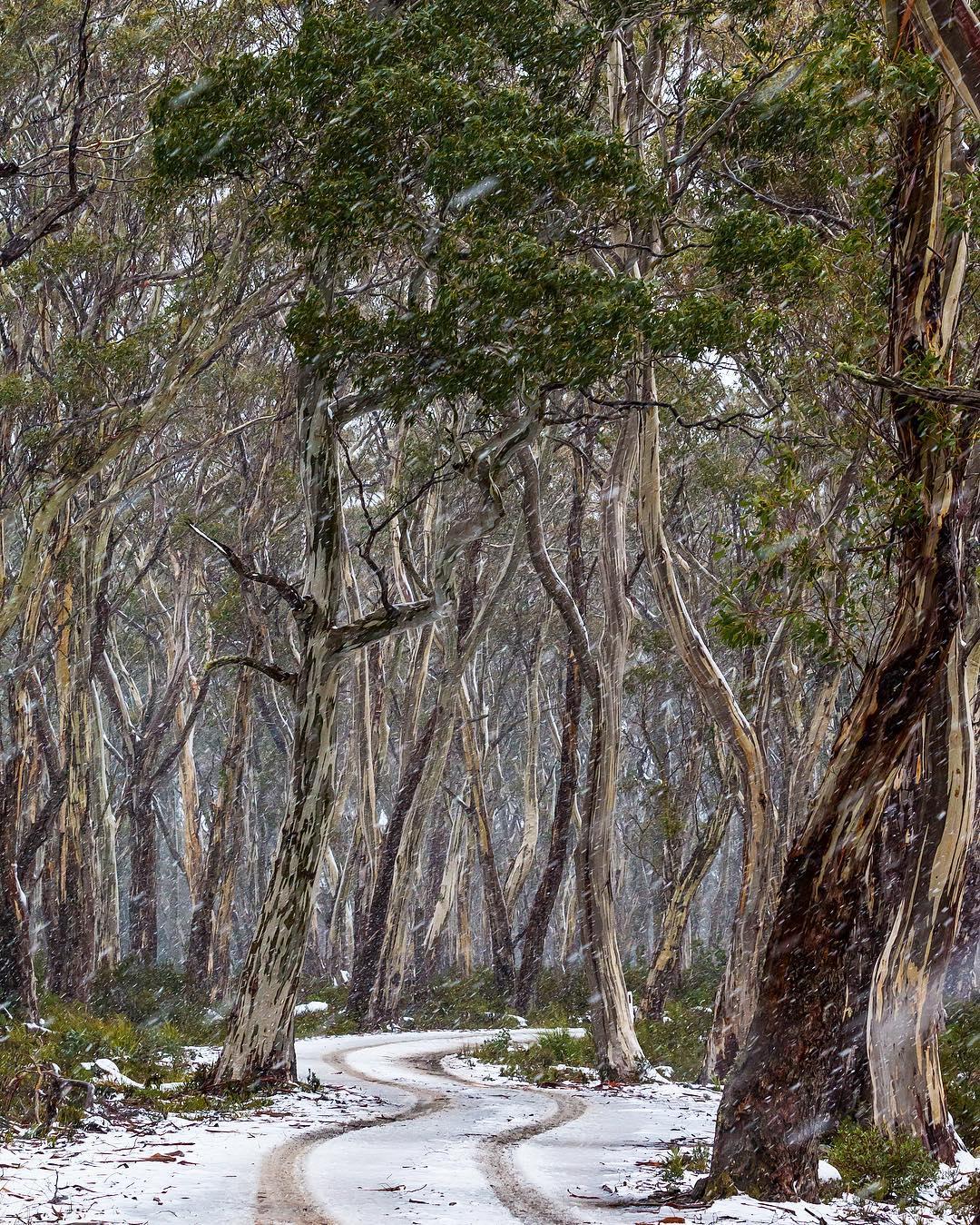Snowy Snow Gums, Tasmania