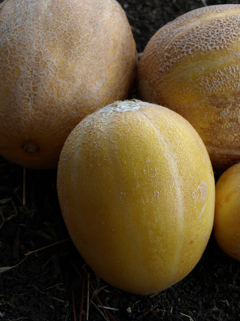 Sweet+Granite+Melons.JPG