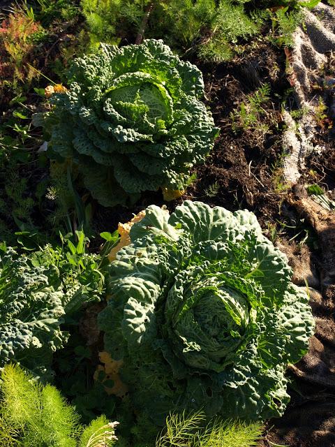 Savoy+Cabbages.JPG
