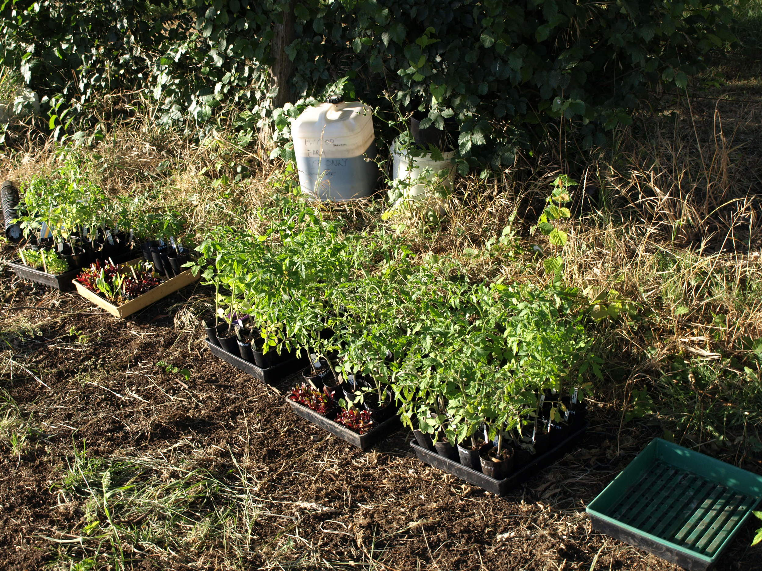 seedlings ready for planting