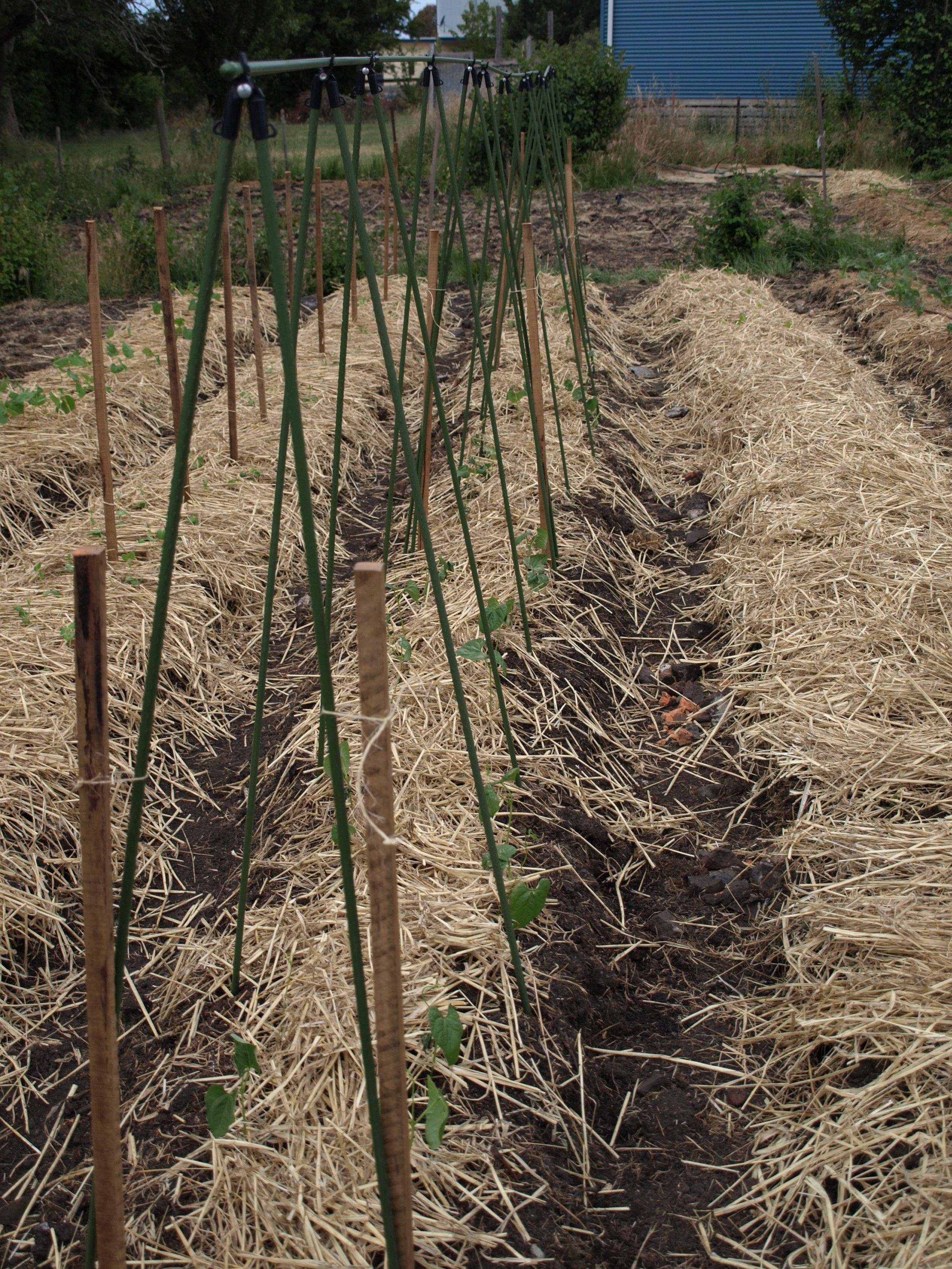 Climbing bean seedlings.JPG