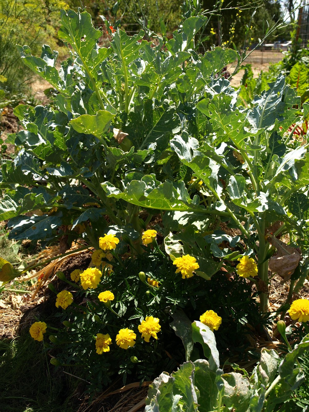 Broccoli and marigolds