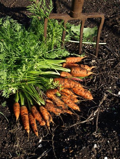 new season carrots