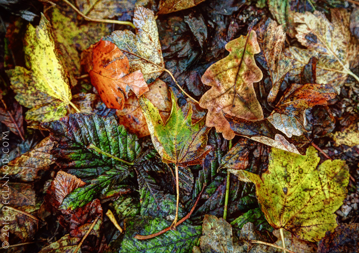 Yorkshire Leaves
