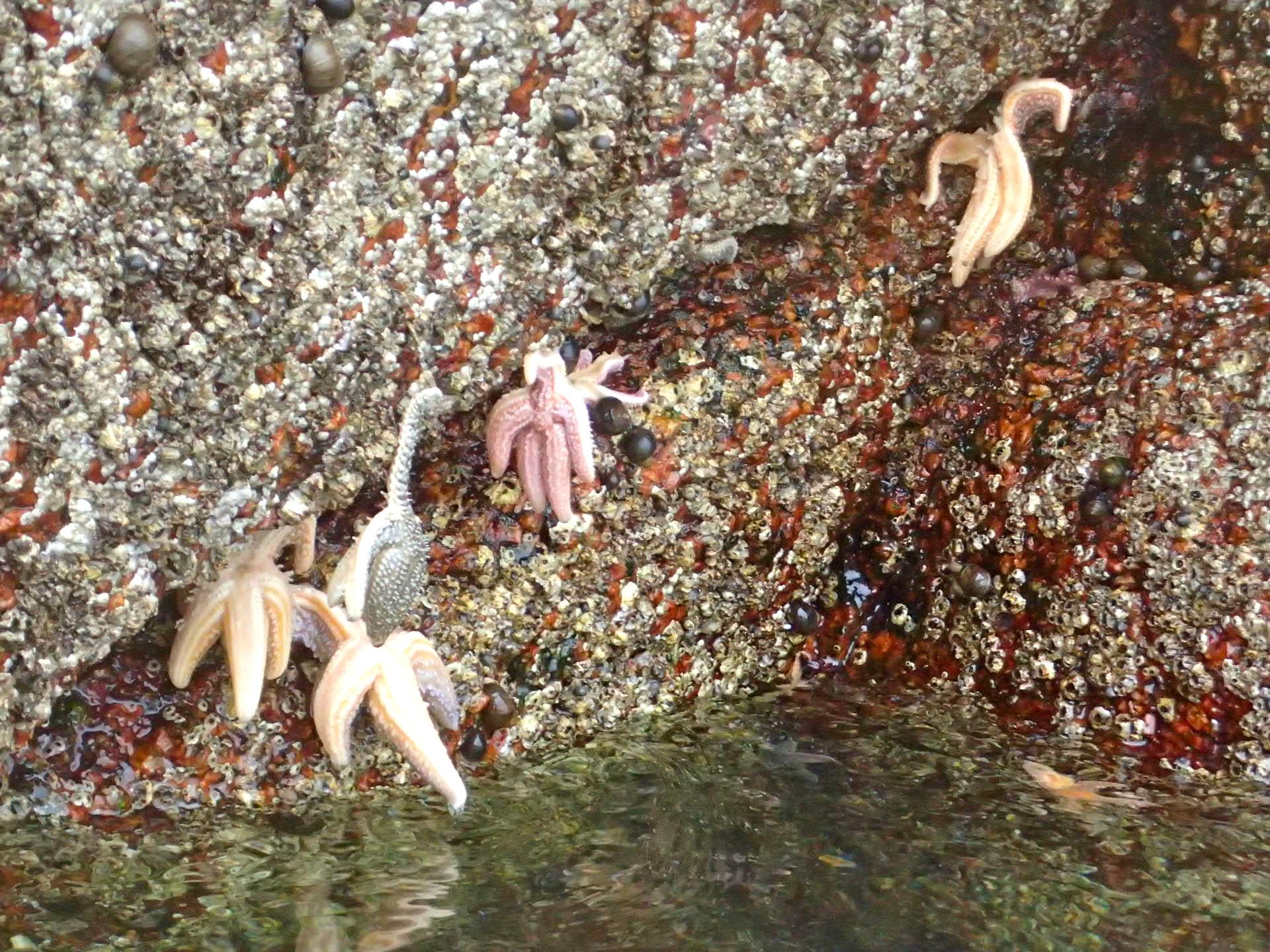 sea stars clinging to granite on harbor island, brooklin (photo by peter jones)