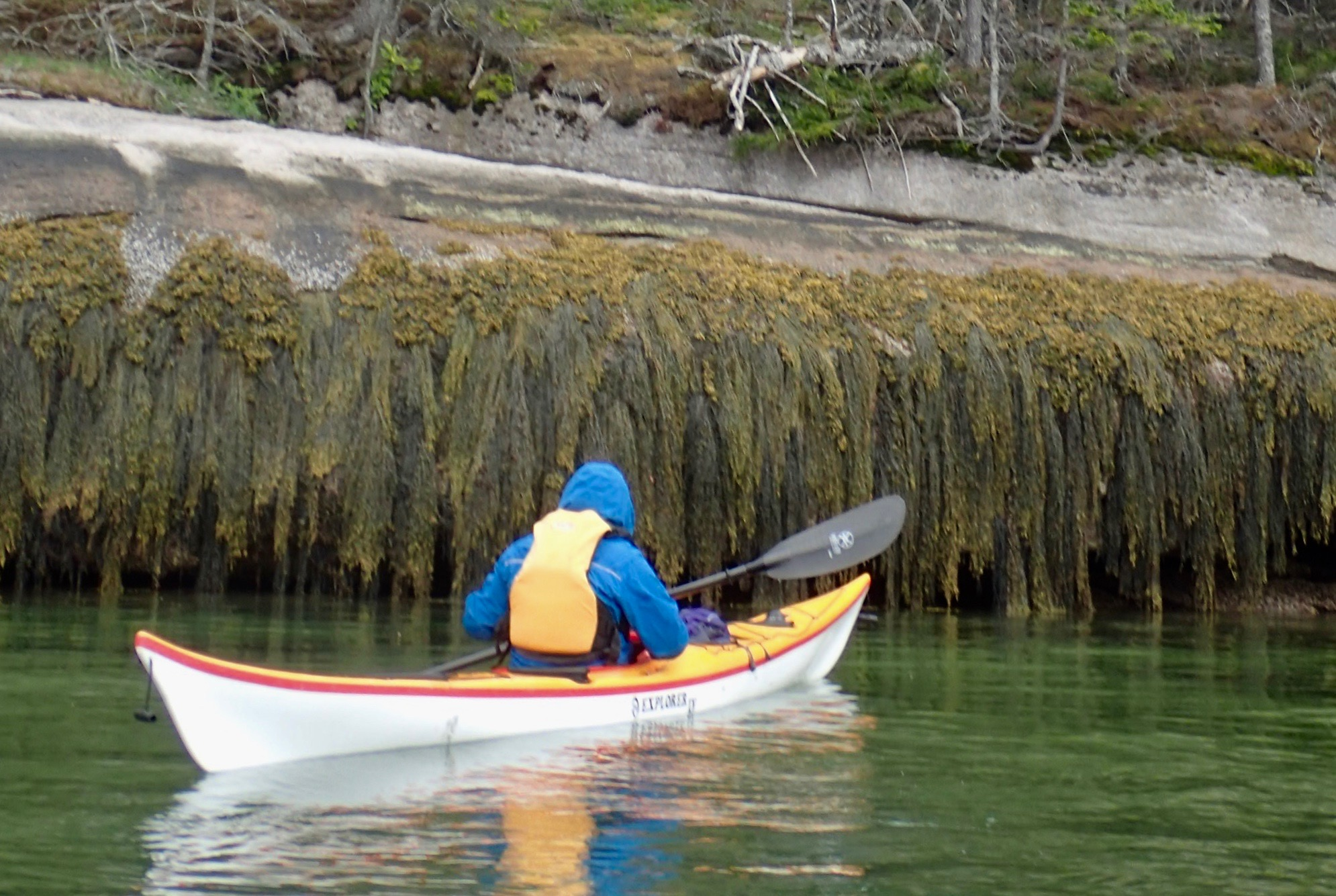 Rockweed on exposed granite at mid tide (photo by peter jones)