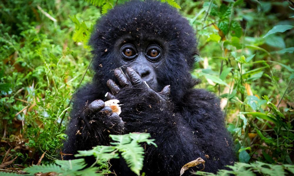 Bwindi Mountain Gorilla infant in its comfortable environment