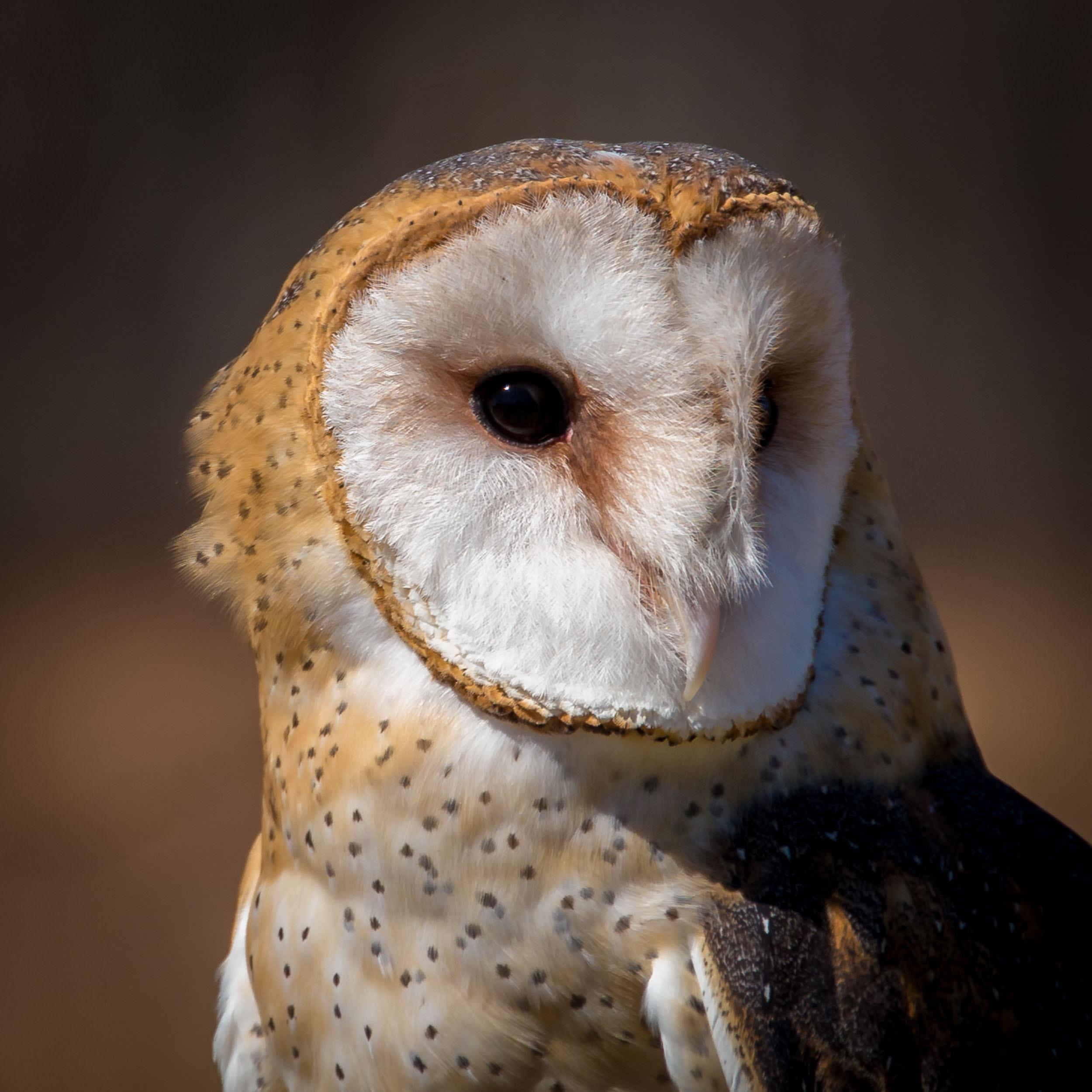 Niña, a Barn Owl at the Raptor Trust