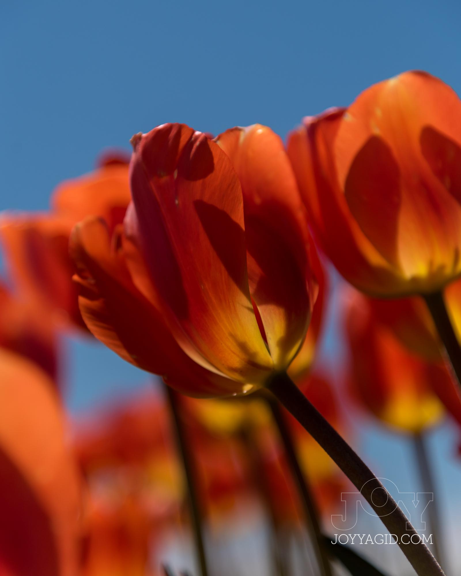 TulipFarm2019-6886.jpg