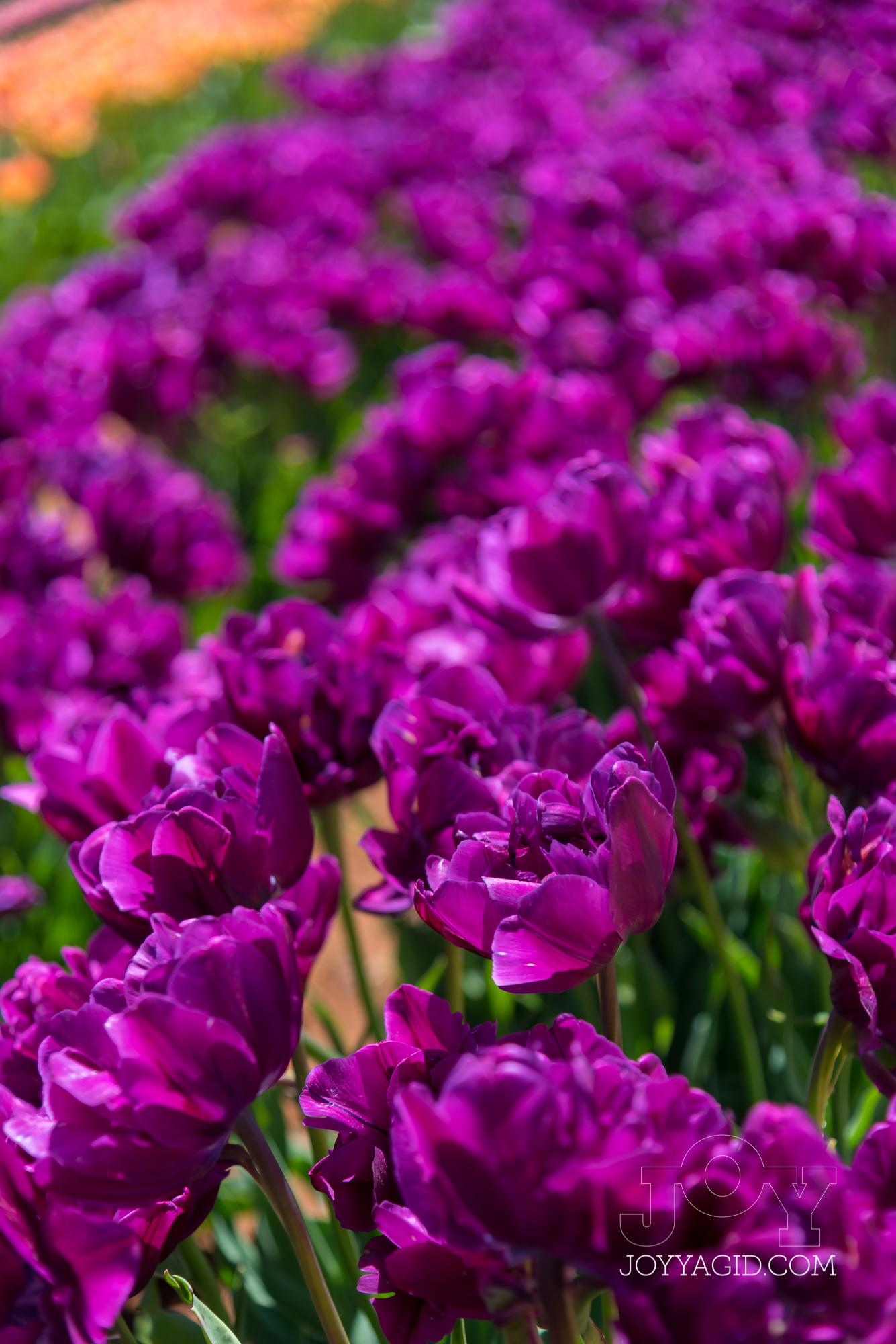 TulipFarm2019-6790.jpg