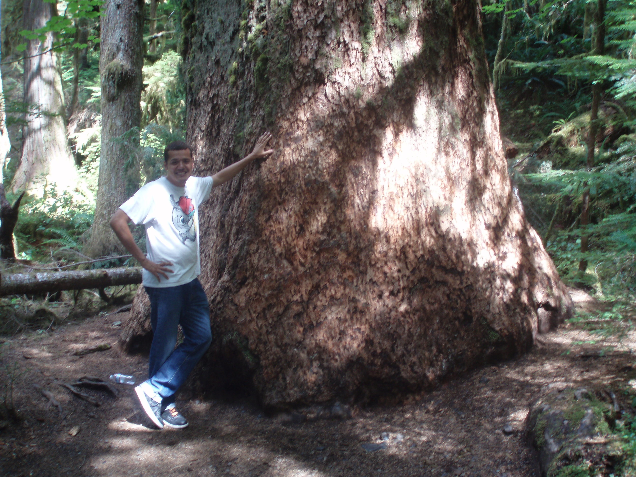 Largest spruce tree near Quinault Lake, Olympic Peninsula