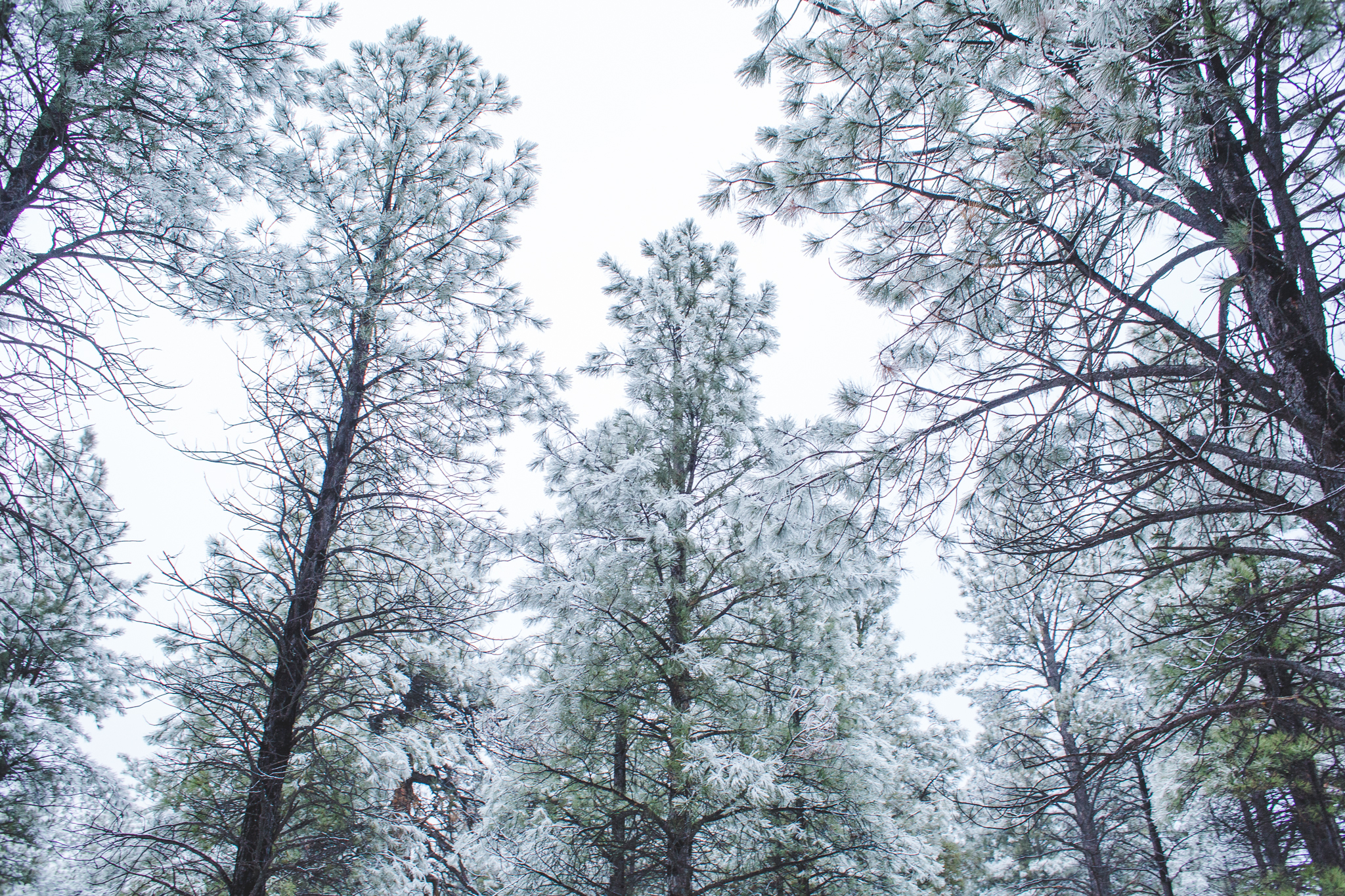 snow covered trees sky