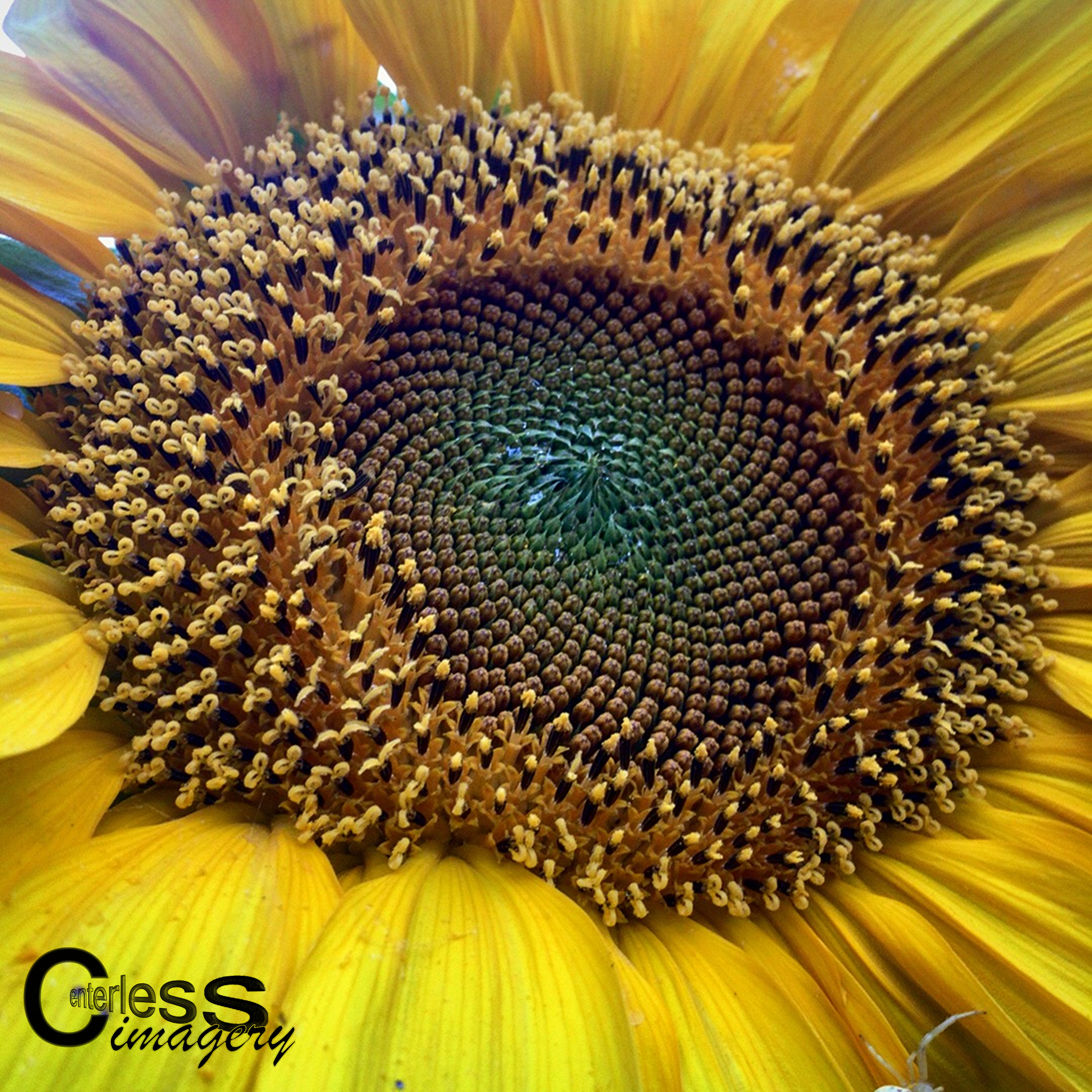 Sunflower Spiral