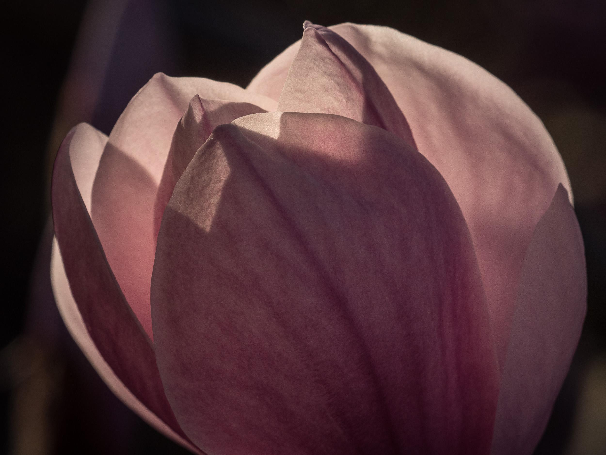 20170330_panasonic_gh5_magnolien_1004784.jpg