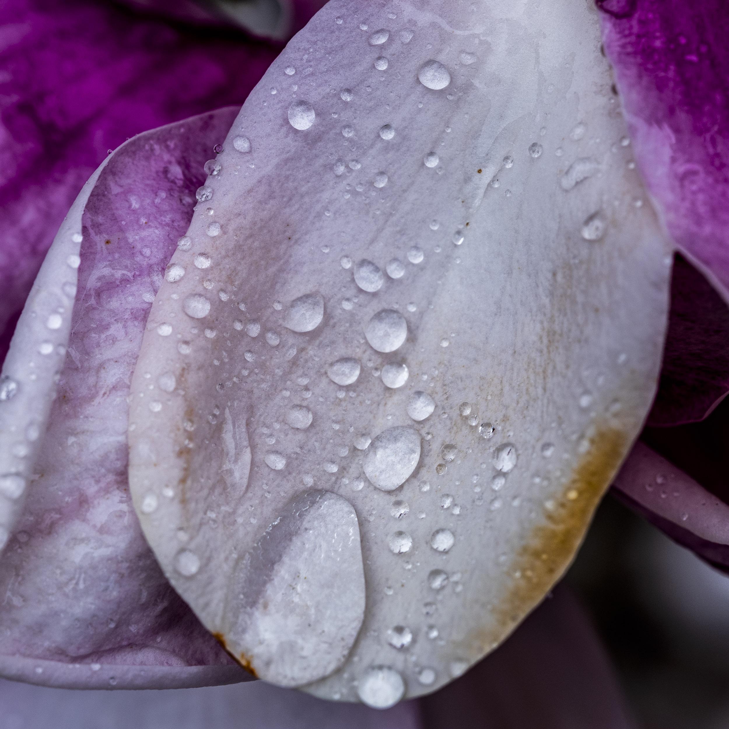 20190410_magnolia__DSF8748.jpg