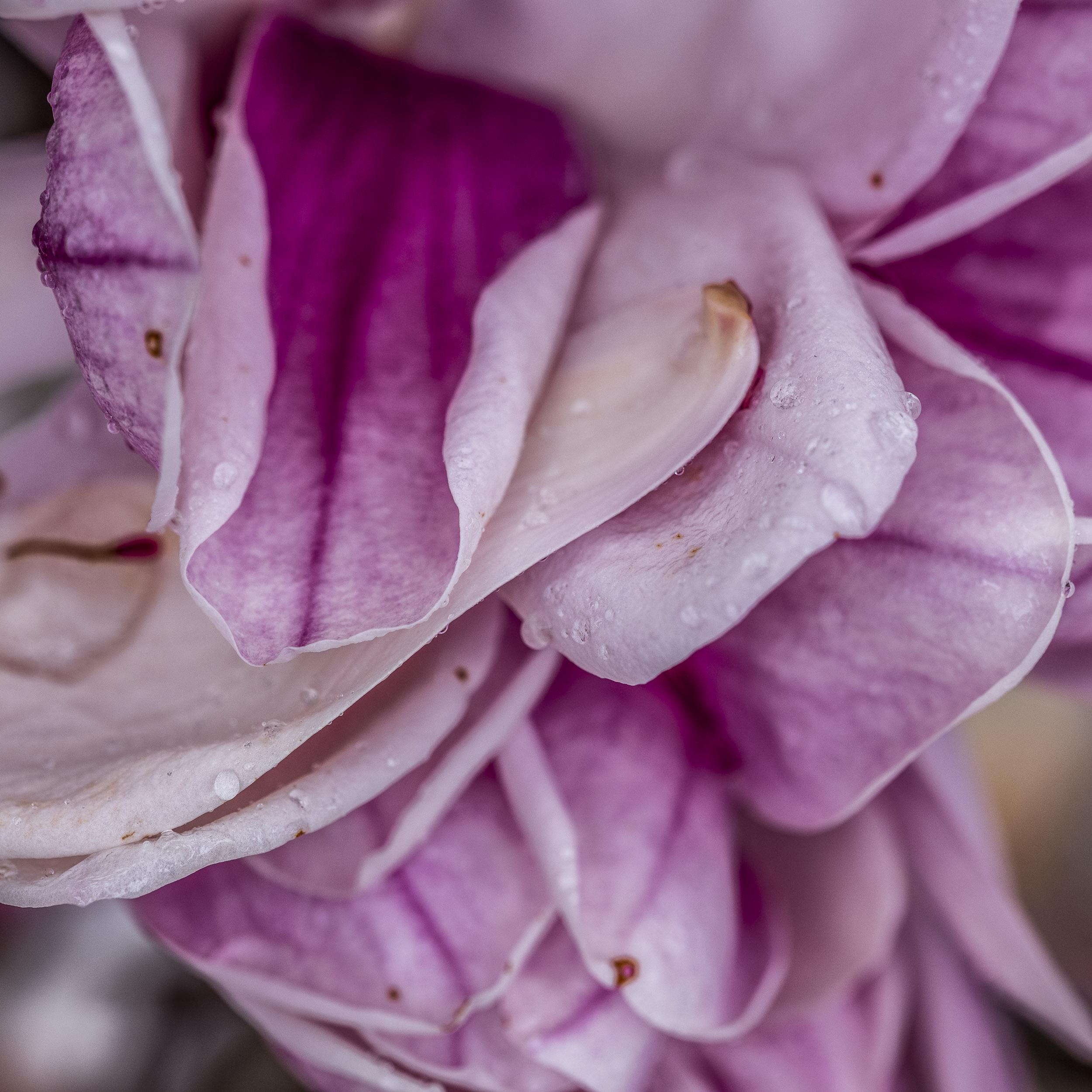 20190410_magnolia__DSF8769.jpg