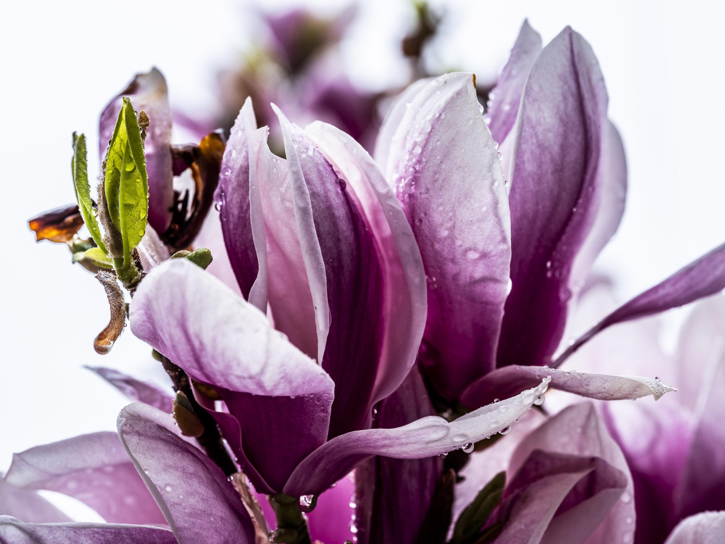 20190410_magnolia__DSF8776.jpg
