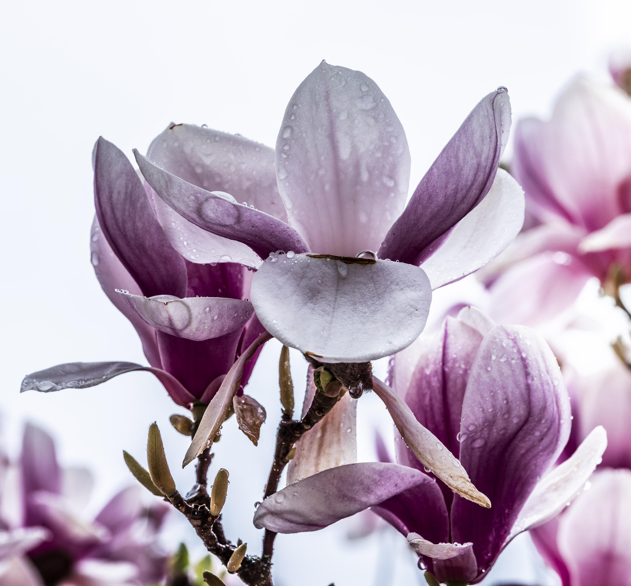 20190410_magnolia__DSF8777.jpg