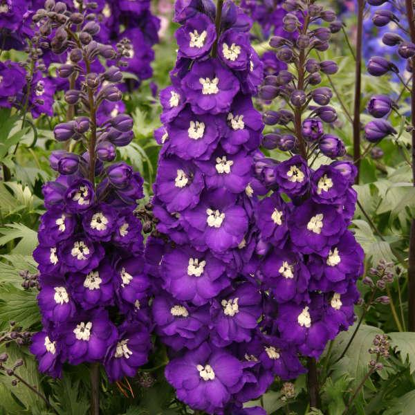 delphinium purple.jpg