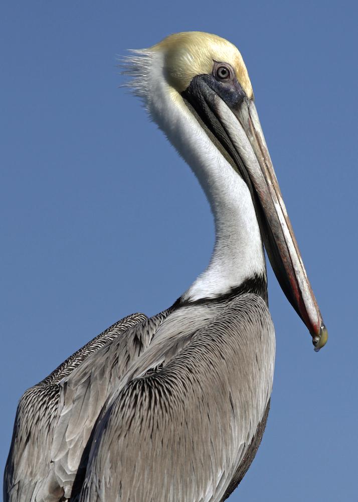 Brown Pelican IV
