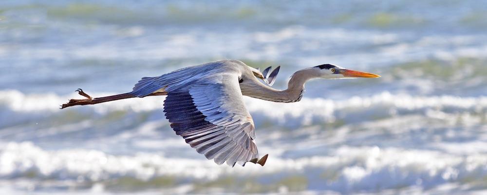 Great Blue Heron IV
