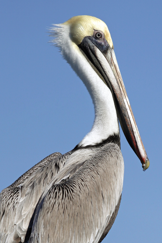 Brown Pelican IV