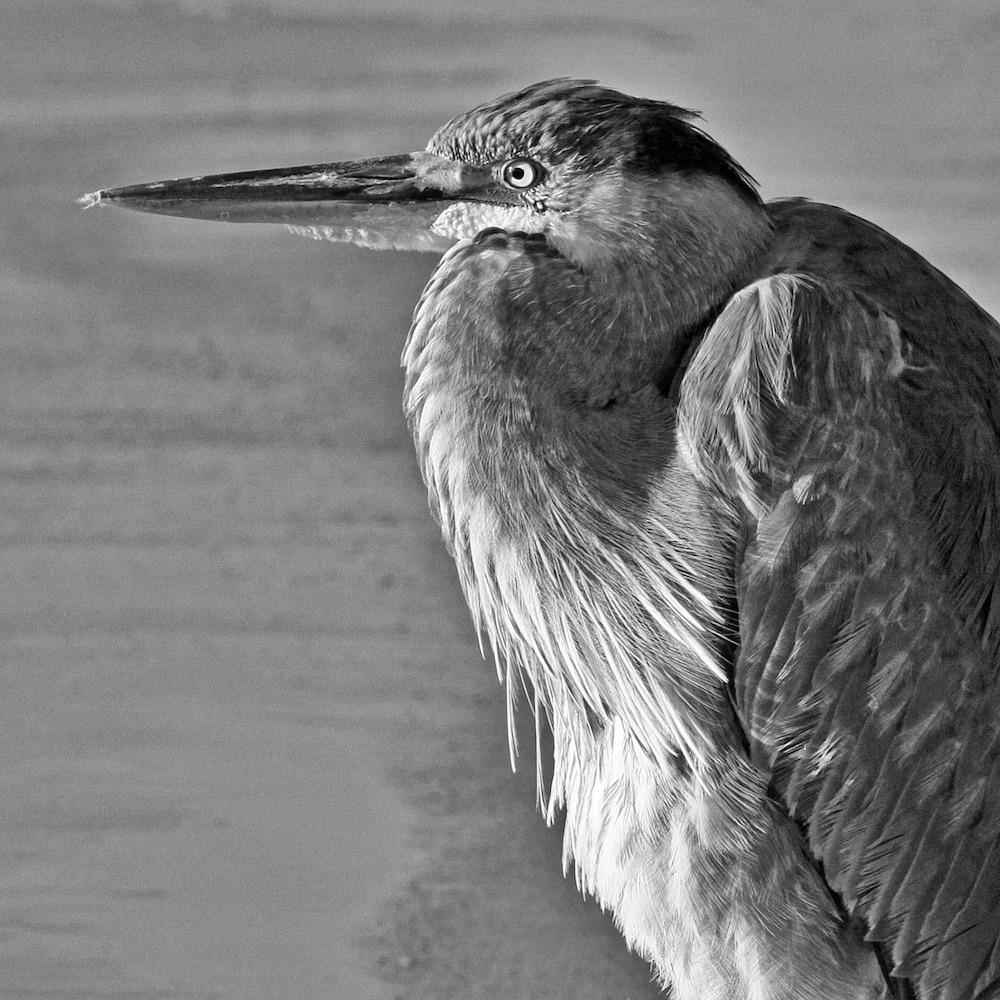 Great Blue Heron (juv.)