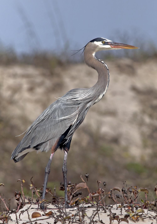 Great Blue Heron III